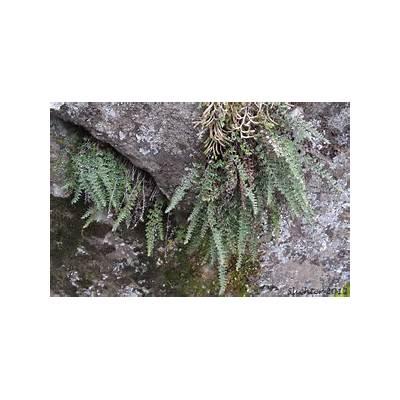Lace Lipfern Fern: Cheilanthes gracillima