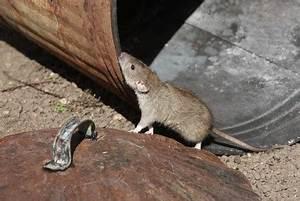 Comment Se Debarrasser Des Rats : comment identifier et se d barrasser des rats habitatpresto ~ Melissatoandfro.com Idées de Décoration