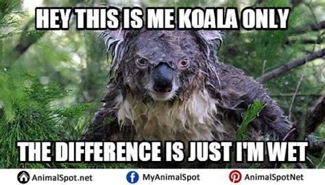 High Koala Meme - wet koala memes different types of funny animal memes pinterest animal kingdom funny