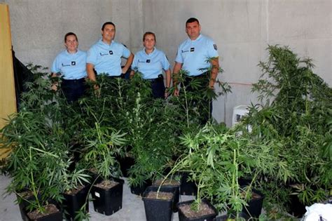 une cinquantaine de plants de cannabis saisis 224 tourrettes