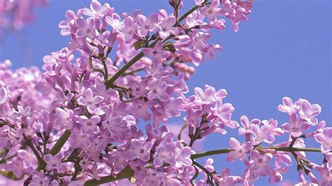 hd lilac wallpapers free pixelstalk net