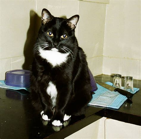 tuxedo cats file tuxedo cat kitty ryan jpg wikipedia