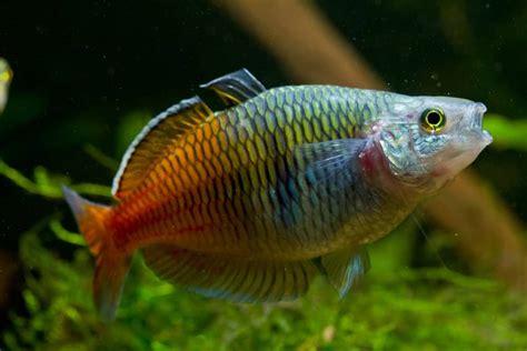 types  rainbowfish
