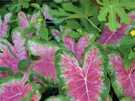Kitchen Color Ideas - how to grow caladiums southern living