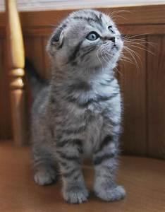 Scottish fold kitten - Pixdaus