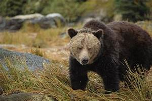 Study Led By Indigenous People Uncovers Grizzly Bear  U0026 39 Highway U0026 39