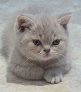 lilac tabby british shorthair - Google Search | Amazing ...