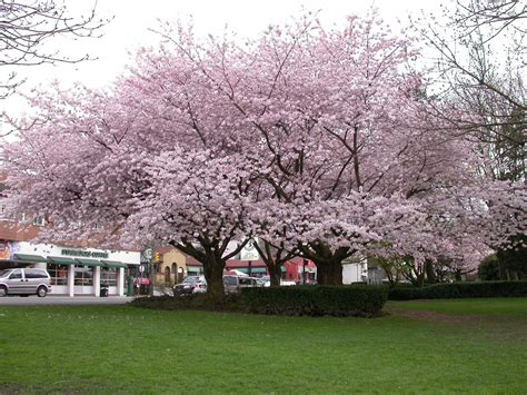 cherry blossom tree l learning english with michelle vancouver 39 s cherry blossom