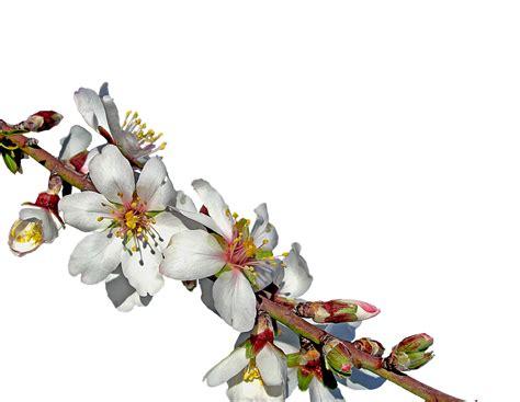 mandorlo da fiore olio di argan e olio di mandorle a confronto olio di argan