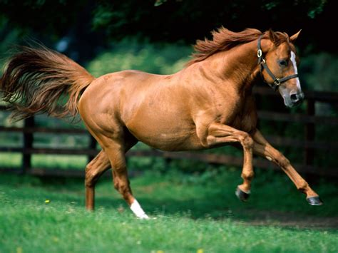 horse quarter wallpapers horses cool american desktop hd background pic backgrounds chestnut caballos bing running animals pony animal caballo los