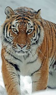 Download 1080x1920 Tiger, Snow, Big Cats, Predator, Wild ...