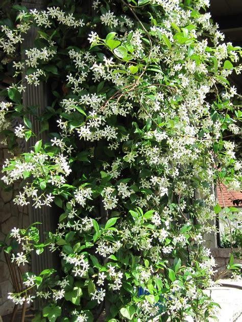 65 Best Garden Flowering Vines Climbers Images On