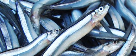 blue anchovy dai tien vinh
