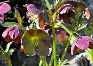 Plante Ombre Exterieur : plantes ombre exterieur nord acanthe de hongrie white lips with plantes ombre exterieur nord ~ Carolinahurricanesstore.com Idées de Décoration