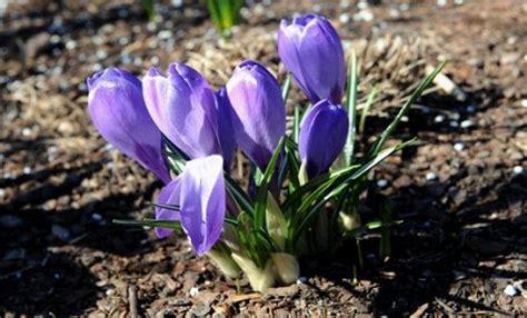 Pirmie pavasara ziedi - trausls skaistums : Ziņu aģentūra ZS