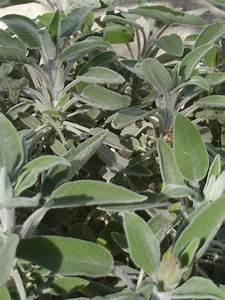 La Sauge Plante : sauge officinale salvia officinalis fiche plante ~ Melissatoandfro.com Idées de Décoration
