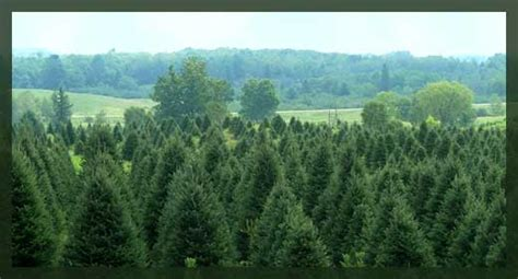 christmas tree farm near me appleron wi l m tree and wreath medford wi quality trees crafted wreaths and garland