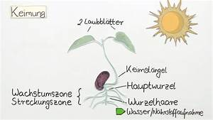 Aufbau Einer Blume : quellung keimung wachstum biologie themen einfach erkl rt ~ Whattoseeinmadrid.com Haus und Dekorationen