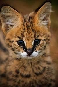 Baby Lynx~ | Stinkin' Cute | Pinterest | Babies