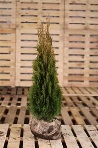 Thuja Brabant Oder Smaragd : thuja smaragd lebensbaum 100 120cm heckenpflanzen heijnen ~ Orissabook.com Haus und Dekorationen