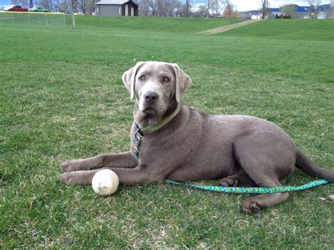 What Does A Silver Lab Look Like When Its Full Grown