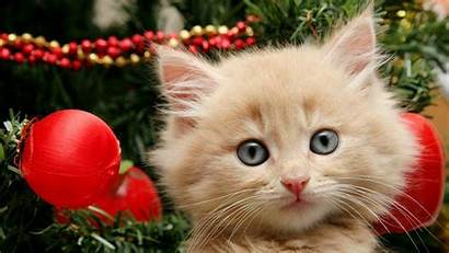 Christmas Cat Wallpapers Cats