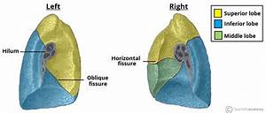 The Lungs - Position - Structure