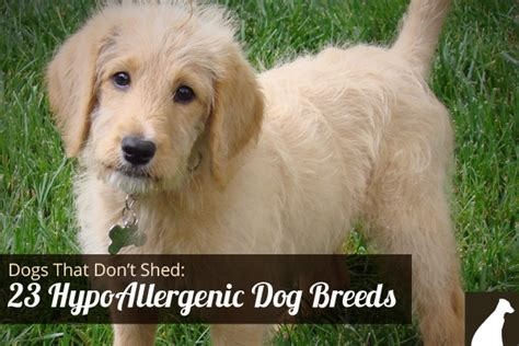 big breeds that don t shed goodbye hair 23 dogs that don t shed hypoallergenic