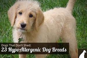 Goodbye Hair! 23 Dogs That Don't Shed: Hypoallergenic Dog ...