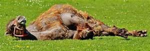 Rasen Düngen Bei Sonne : kostenlose foto gras sonne rasen wiese tierwelt kamel entspannen sie sich weide weiden ~ Indierocktalk.com Haus und Dekorationen