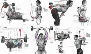 Bicep and Tricep Muscle Anatomy - all-bodybuilding com