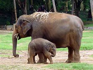 The Elephant | Innocent Animal | Animals Lover