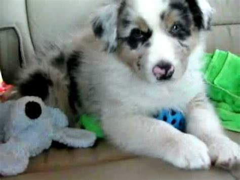 shy  week  blue merle australian shepherd youtube