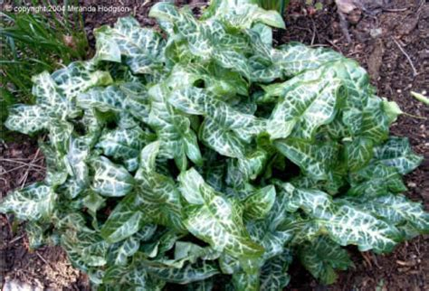 arum propagation arum italicum pictum
