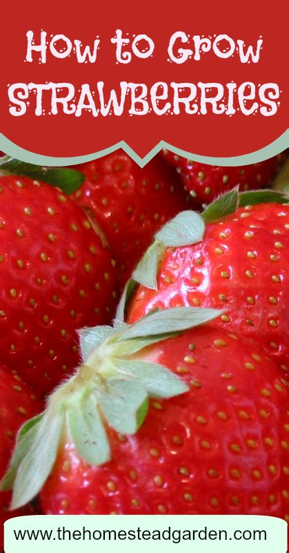 how to grow strawberries how to grow strawberries the homestead garden the homestead garden