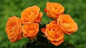 Orange Rose   haidemorala