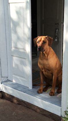 do rhodesian ridgebacks drool ridgeback mastiff mix rhodesian ridgeback mastiff