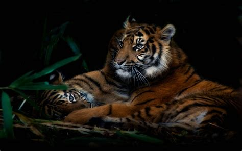 Hd Wallpapers Animals Tigers - animals tigers baby animals 1920x1200 wallpaper high