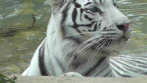 tigre de bengala real tigre indio panthera tigris tigris