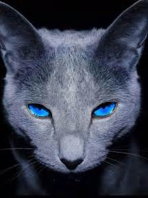 cats with blue grey cat with blue puttertat s