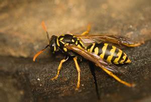 Wespen Effektiv Vertreiben  Schutz Vor Wespenstichen