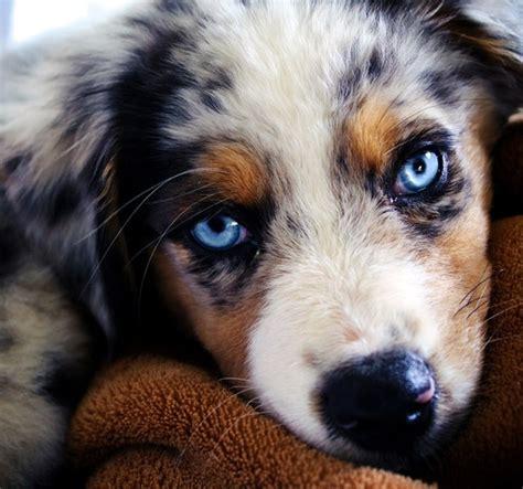 Australian Shepherd Puppies Blue Eyes