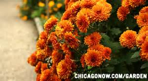 what to plant in chicago in the fall chicago garden