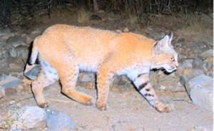 Bobcats and Mountain Lions - Saguaro National Park (U.S ...