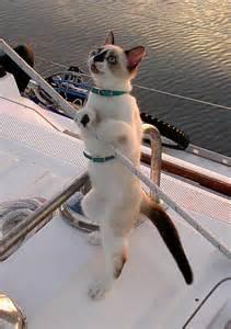 sail cat cats make great sailors 26 photos click here the