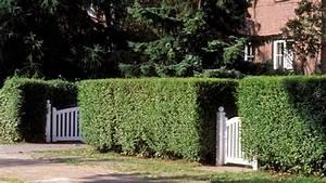 Bis Wann Hecke Schneiden : ligusterhecke so pflanzen und schneiden sie liguster richtig ~ Frokenaadalensverden.com Haus und Dekorationen
