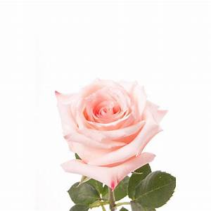 Light Pink Rose - Engagement - Pink - Roses | Flower Muse