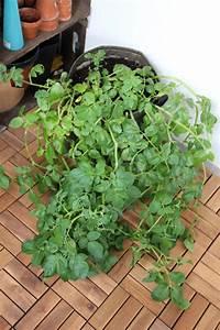 Wann Kann Man Rhabarber Ernten : mein balkon wann kann ich endlich meine kartoffeln ernten ~ A.2002-acura-tl-radio.info Haus und Dekorationen
