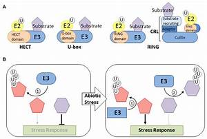Function Of E3 Ligases In Abiotic Stress Response   A
