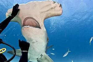 Hammerhead shark eats out of diver's hand | GrindTV.com
